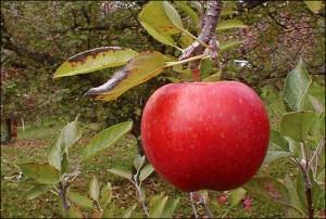 hawkeye-apple_friese_h528